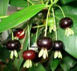Niềm vui trồng và chăm sóc cây cherry brazil